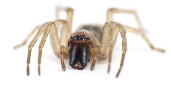 Leaf curling sac spider
