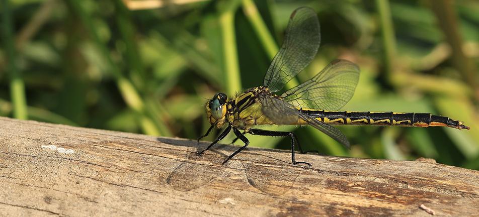 Lilypad clubtail dragonfly