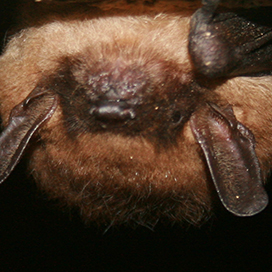 Little brown myotis © Ann Froschauer/USFWS CC BY-SA 2.0