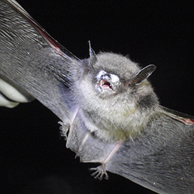 Little brown myotis with white-nose syndrome © Gabrielle Graeter, NCWRC CC BY-SA 2.0