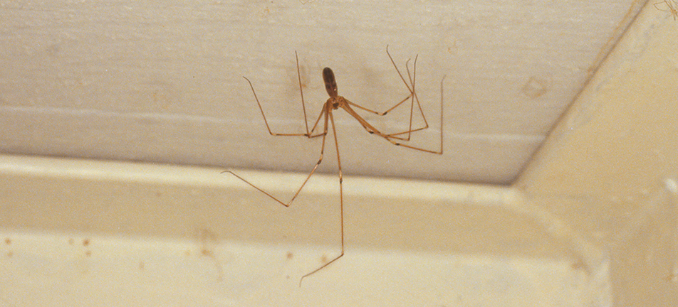 Longbodied cellar spider on ceiling