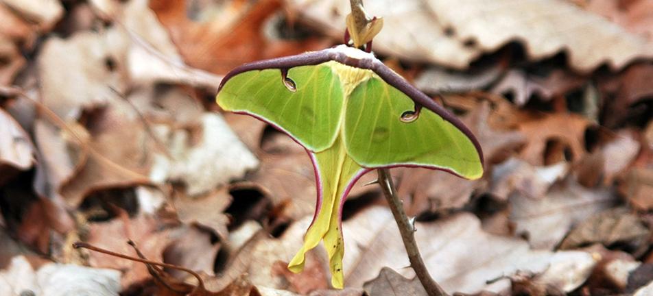 Luna moth 0