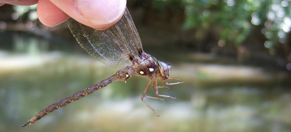 Fawn darner dragonfly