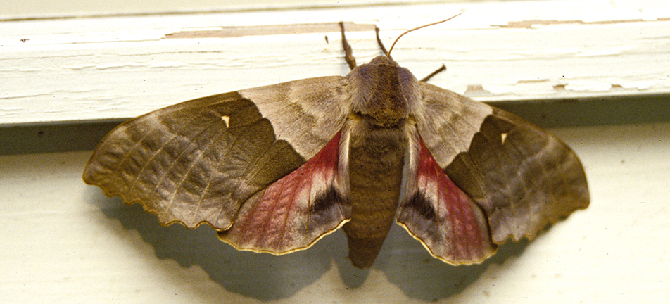 Modest sphinx moth