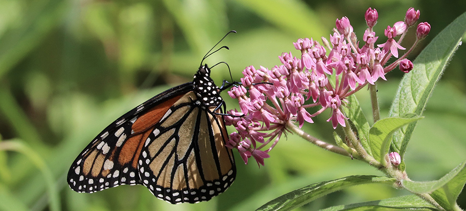 Monarch butterfly and swamp milkweed
