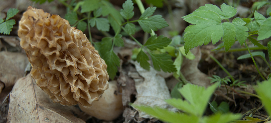 Morel surrounded by small green leaves
