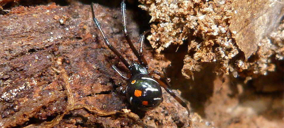 Northern black widow on a brown tree