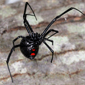 northern_black_widow_spider_Patrick_Coin_CC_BY-NC-SA_2.0_button