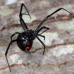Northern black widow - ON Nature Magazine