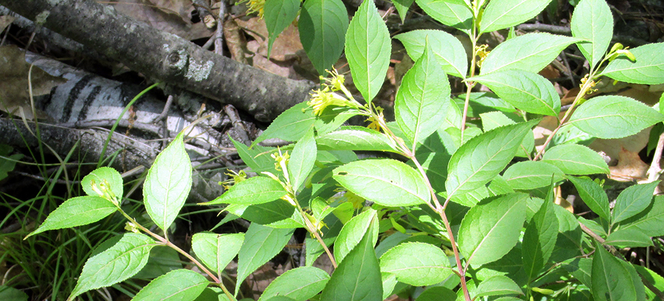 Green leaves of a northern bush-honeysuckle