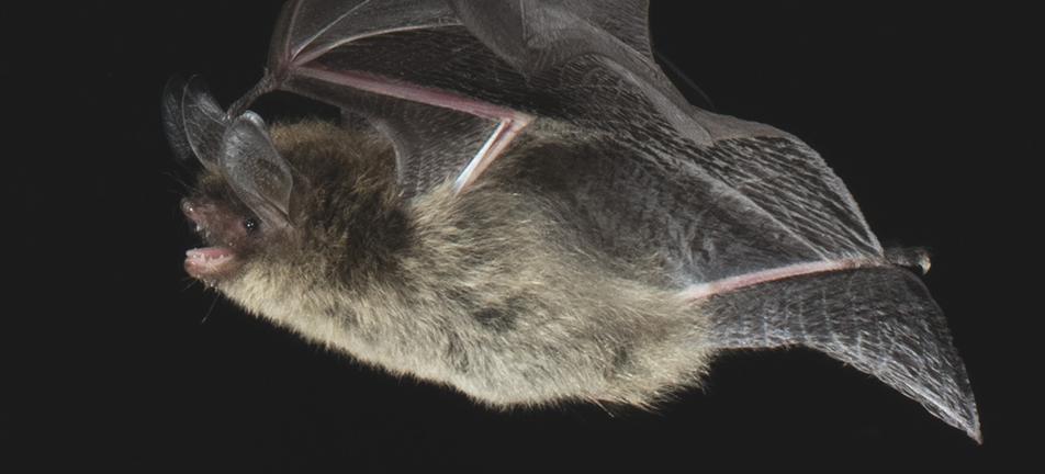 Northern long-eared  myotis
