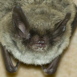 Northern myotis © Dave Thomas CC BY-NC-SA 2.0
