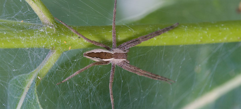 Nursery web spider on a leaf