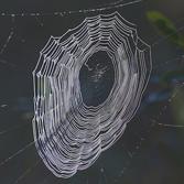 Araneidae (orb weaver) web, Credit: Dan Schneider