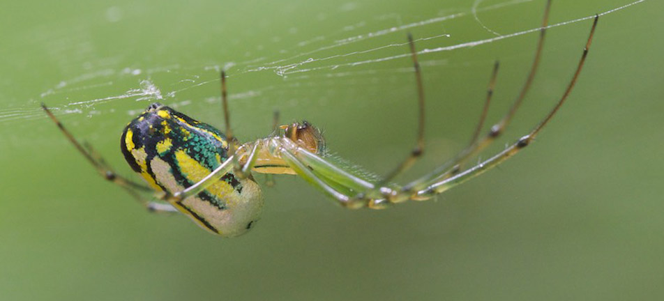 Orchard orbweaver on its web