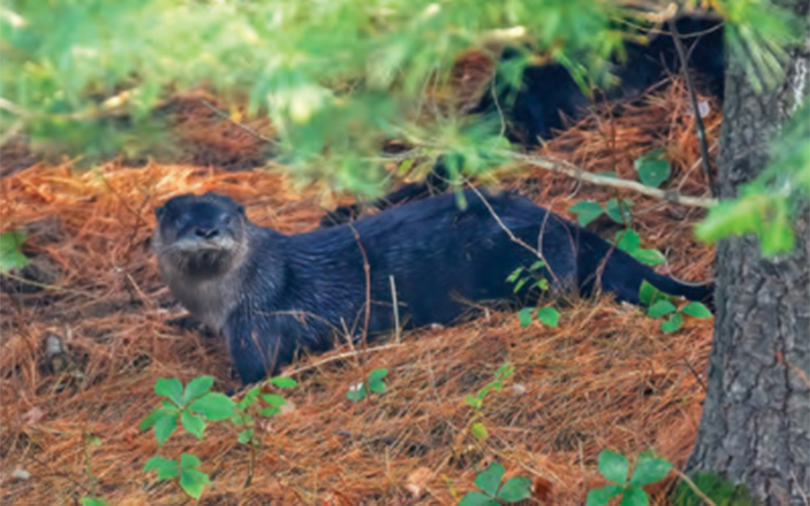 River otter under a pine tree