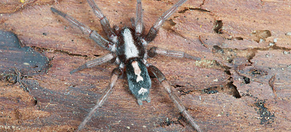 Parson spider on a tree bark