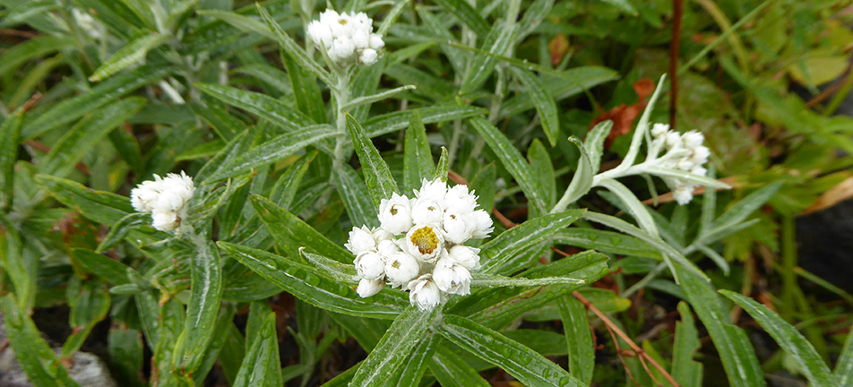 Small white pearly everlasting flowers and green thin leaves