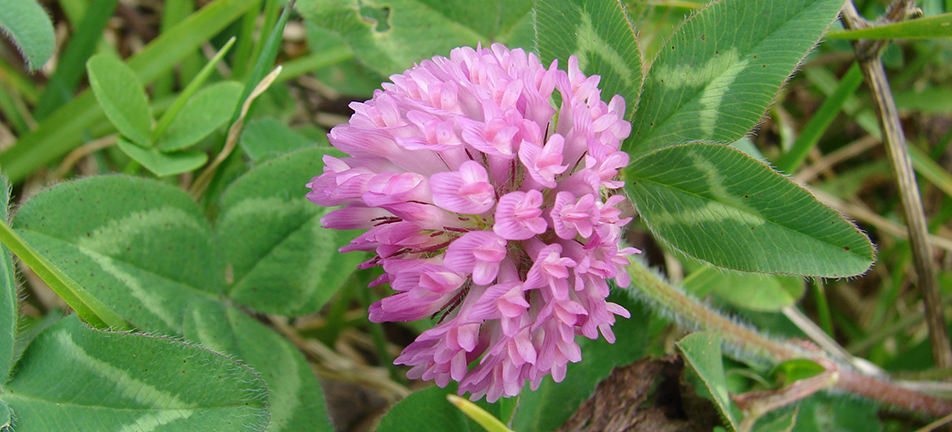 A single red clover flower surrounded by green leaves