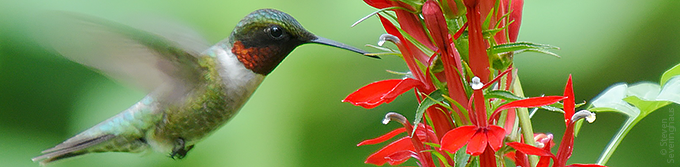 Ruby-throated hummingbird and cardinal flower