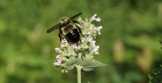 Rusty-patched bumblebee; Credit: Owen Conservation