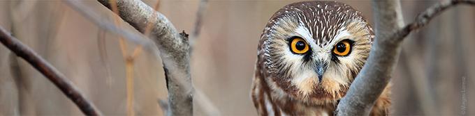 Saw-whet owl, close-up