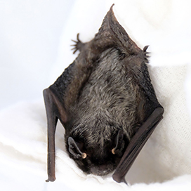 Silver-haired bat © Stephanie Young-Merzel CC BY 2.0