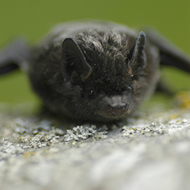Silver-haired bat © Willamette Biology CC BY-SA 2.0