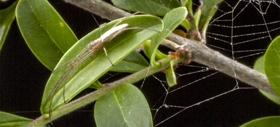 Silver long-jawed orbweaver on a leaf surrounded by branches
