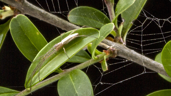 Silver long-jawed orbweaver