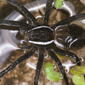 sixspotted fishing spider - Dan Schneider_button