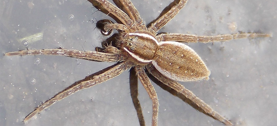 Six-spotted fishing spider on a water surface