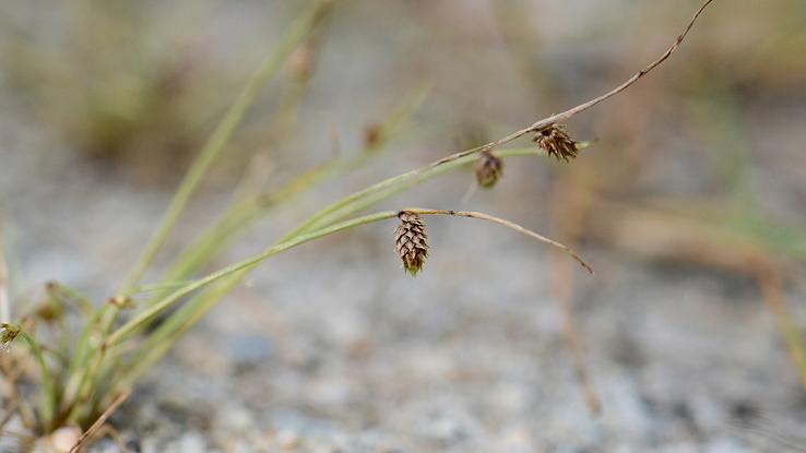 Small-flowered Lipocarpha