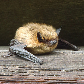 Eastern small-footed myotis © Virginia State Parks CC BY 2.0