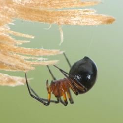 Splendid dwarf spider, Credit: D. Sikes CC BY-SA 2.0