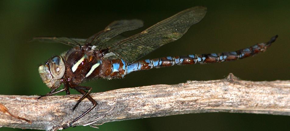 Springtime darner dragonfly