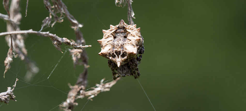 Starbellied orbweaver next to dry branches