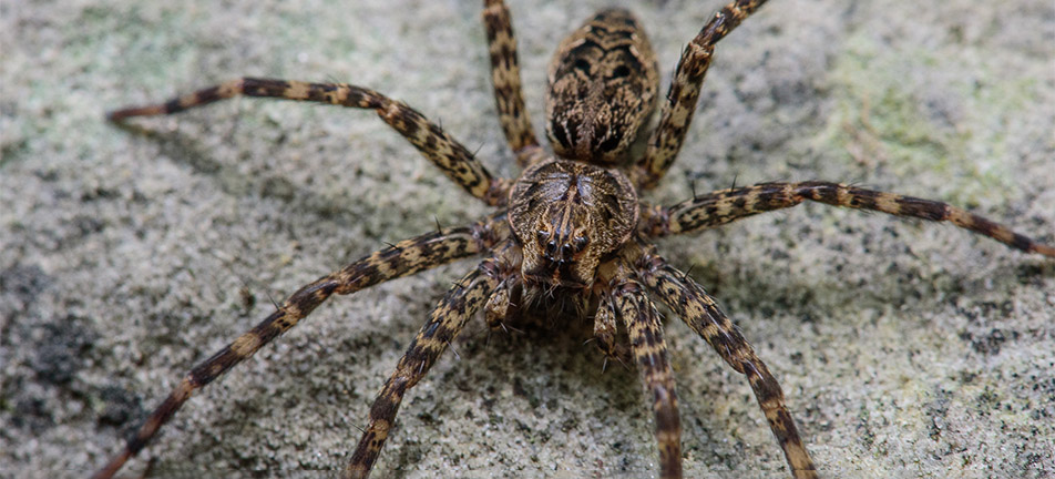 Striped fishing spider on a gray background