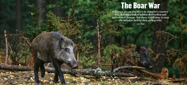 The Boar War, ON Nature magazine, Autumn 2019