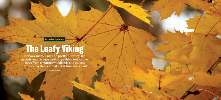 The Leafy Viking, ON Nature magazine, Autumn 2019