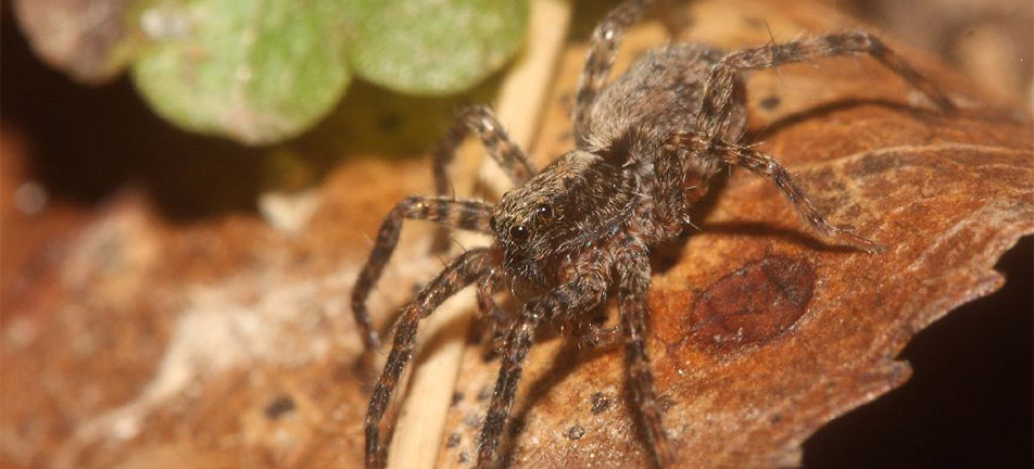 Thin-legged wolf spider on a brown leaf