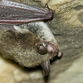 Tricolored bat © Dave Thomas CC BY-NC 2.0