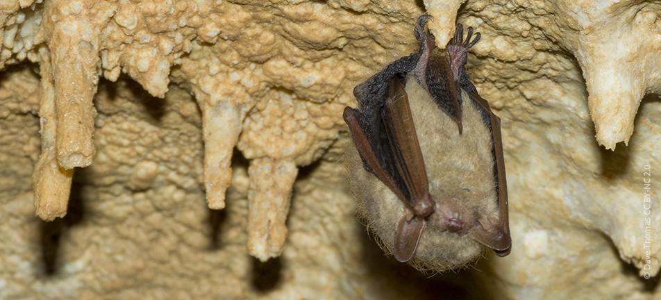 Tricolored bat