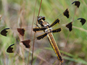 Female twelve-spotted skimmer, Photo: Jerry Oldenettel