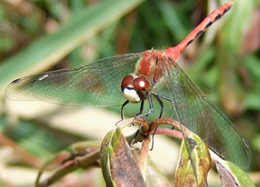 Male white-faced meadowhawk, Photo: Stylurus