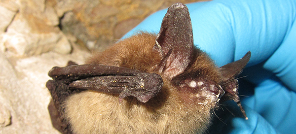 Eastern small-footed myotis with white nose syndrome © University of Illinois/Steve Taylor CC BY 2.0