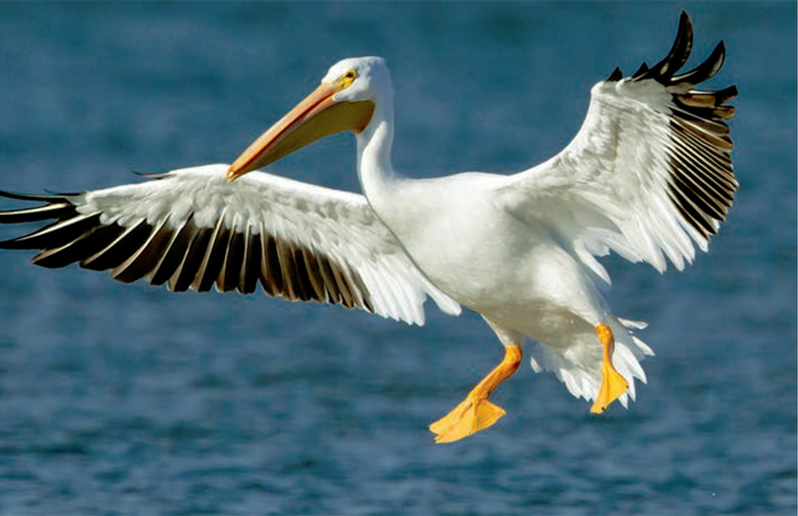 American white pelican flying in for a landing