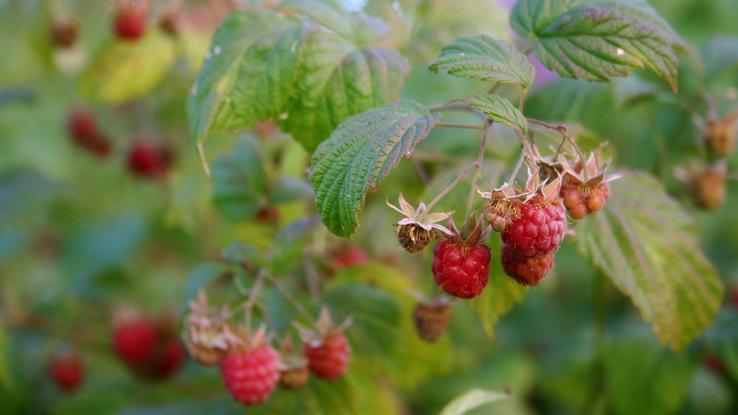 Small red raspberries on branches surrounded by leaves