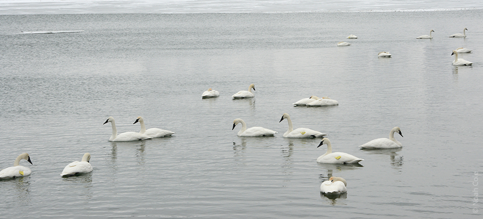 Trumpeter swans, Tommy Thompson Park