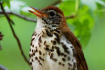 wood_thrush_attribute_noncommercial_noderivations_Billtacular_CC_BY-NC-ND_2_thumbnail